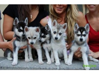 Pedigree Miniature Alaskan Klee Kai Puppies For Sale