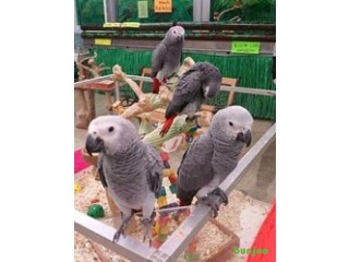 Baby Male and female African grey Parrot Available