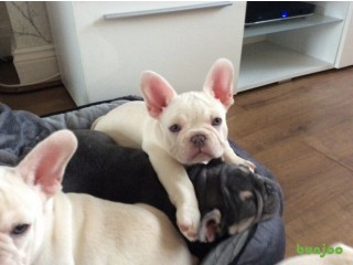 My beautiful french bull dog puppies are 12 weeks old and waiting for forever homes( Price Reduced)