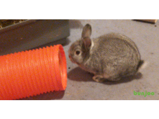 Pure Bred Chinchilla Buck Netherland Dwarf Rabbit and two tier cage