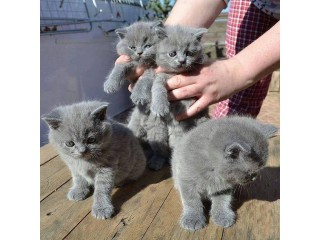 Champions and Grand Champions CheekyWhiskers British Shorthair Kittens