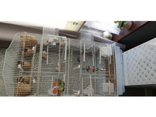 Zebra finches wanted