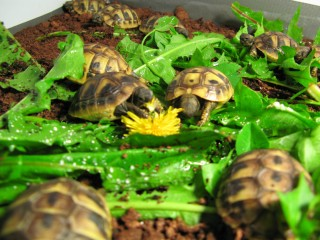 Baby Hermann & Spur-thigh Tortoises for sale