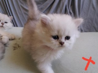 Beautiful silver tipped chinchilla Persian kittens
