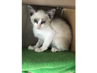 Siamese Snowshoe kittens both parents full pedigree GCCF registered
