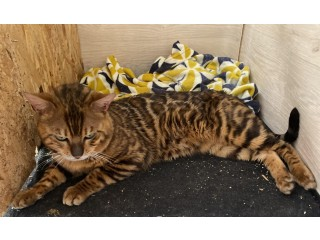 Male Stud - bengals - silver or red - bedford