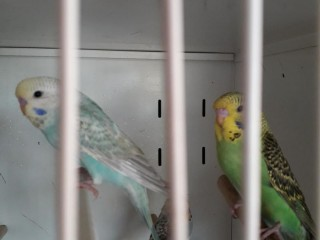 Budgie chicks ready to go