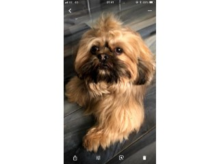 SHIH TZU stud (proven ) not for sale