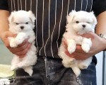 pure-white-maltese-ready-for-new-home-small-0
