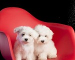 pure-white-maltese-ready-for-new-home-small-1