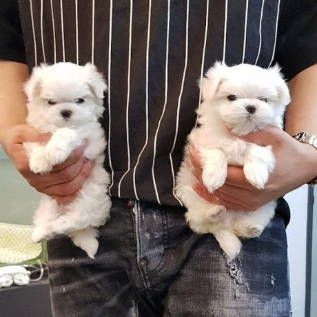 pure-white-maltese-ready-for-new-home-big-0