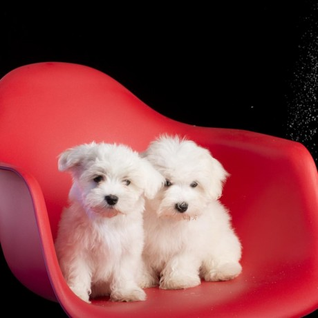 pure-white-maltese-ready-for-new-home-big-1