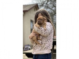 KC-REG DOG & BITCH LEFT!!!GORGEOUS PUPS READY NOW!!!Dogue De Bordeaux Pups For Sale.