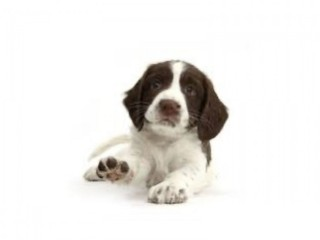 Wanted English Springer Spaniel Bitch Puppy - Forever home offered.