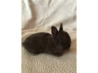 Pure breed Netherland Dwarfs bunnies
