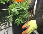 xtra-large-african-marigold-plants-forest-gate-london-small-0