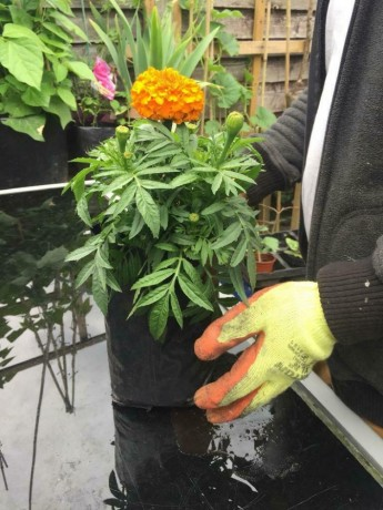 xtra-large-african-marigold-plants-forest-gate-london-big-0