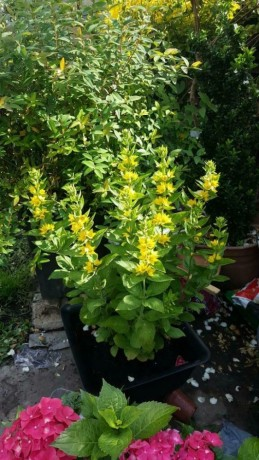 loosestrife-yellow-flower-plant-forest-gate-london-big-0