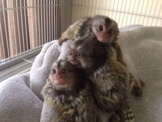 CUTE Marmoset monkey Available