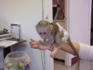 Capuchin Monkeys for sale and adoption.