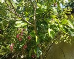 large-fig-tree-small-0