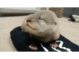 Adorable Asian Small-clawed Otter Duo Born
