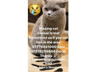 Missing British Blue short hair cat