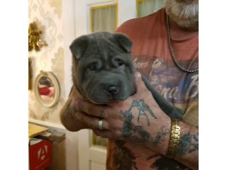 Shar pei puppies ( KC REGISTERED )