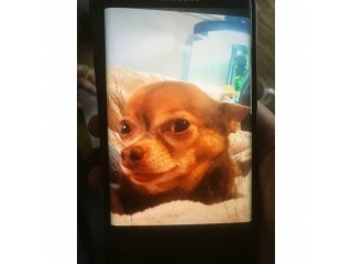Brown Chihuahua MISSING from Croydon (£500 reward)