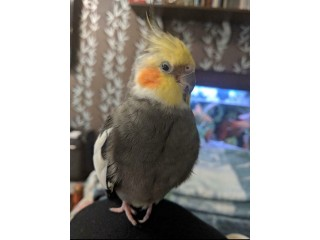 Beautiful Missing cockatiel Bird