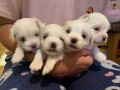 beautiful-kc-registered-maltese-puppy-litter-small-2