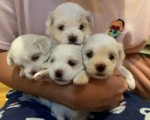 beautiful-kc-registered-maltese-puppy-litter-small-4