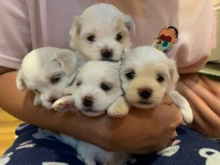 Beautiful Kc Registered Maltese Puppy Litter