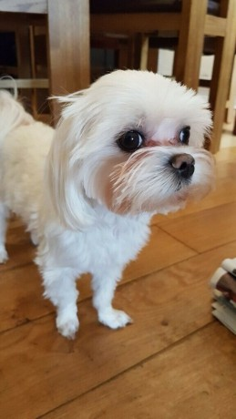 beautiful-kc-registered-maltese-puppy-litter-big-0