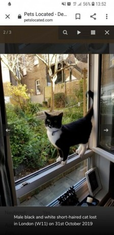 black-and-white-cat-paddy-is-missing-last-seen-on-the-31st-october-in-the-w11-area-big-0