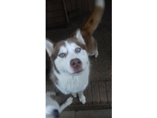Siberian husky bitch 1 year old Siberian husky bitch looking for loving home