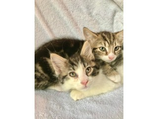 Stunning Bengal cross kittens ready todsy