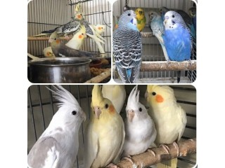 Beautiful budgies & cockatiel for sale