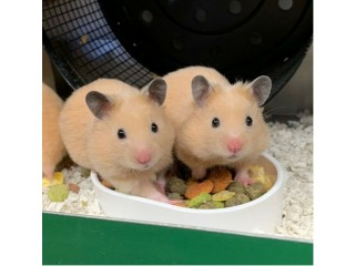 Baby Syrian hamsters. Tame and friendly. Ready to leave December 7th