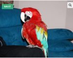 macaw-parrots-for-sale-small-0