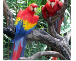 macaw-parrots-for-sale-small-2