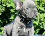 french-bulldogs-online-sale-small-1