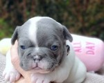 french-bulldogs-online-sale-small-0