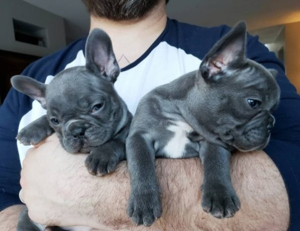 french-bulldogs-online-sale-big-2