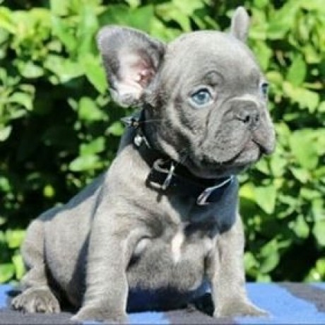 french-bulldogs-online-sale-big-1
