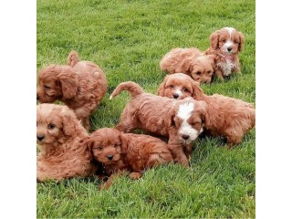 Cute Cavapoo puppies available