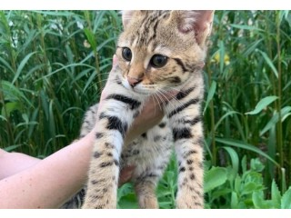 African savannah cat