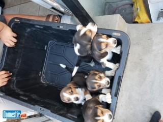 Beagle puppies Snoppy