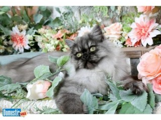 Stunning Persian Kittens Available - 30 Years Experience