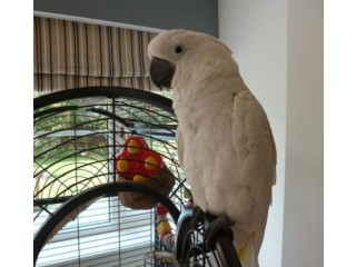 Adorable and friendly Umbrella cockatoo is available